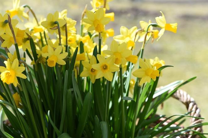 daffodils-716891_960_720