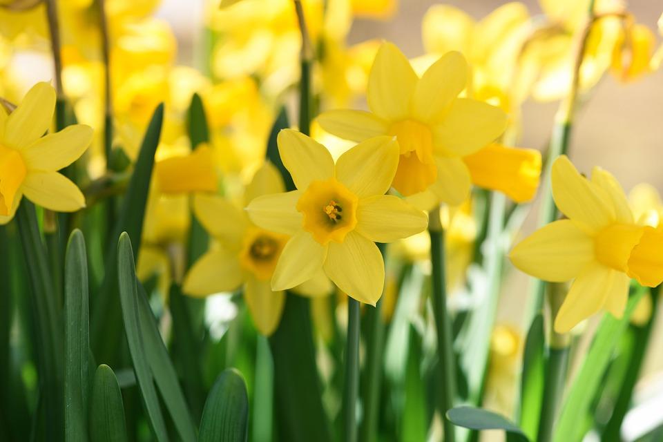 daffodils-716370_960_720