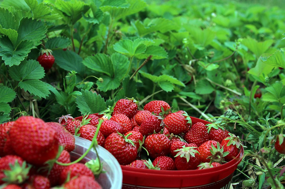 strawberries-1467902_960_720